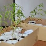 12 Bibit Pohon Ganja di Rumah Calon Pengacara