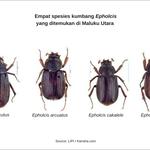 Temuan Baru Empat Spesies Kumbang di Maluku Utara