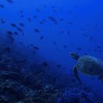 Mengenal Segitiga Terumbu Karang dan Jenis Penyu di KKP Kepulauan Sula