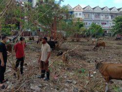Harga Sapi Kurban di Ternate Capai Rp 18 Juta per Ekor