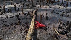 Potensi Mangrove sebagai bahan Pengobatan Tradisional di Tidore Kepulauan